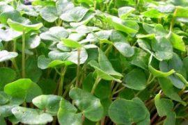 buckwheat-lettuce