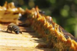 bee-propolis-thrn11lcuc