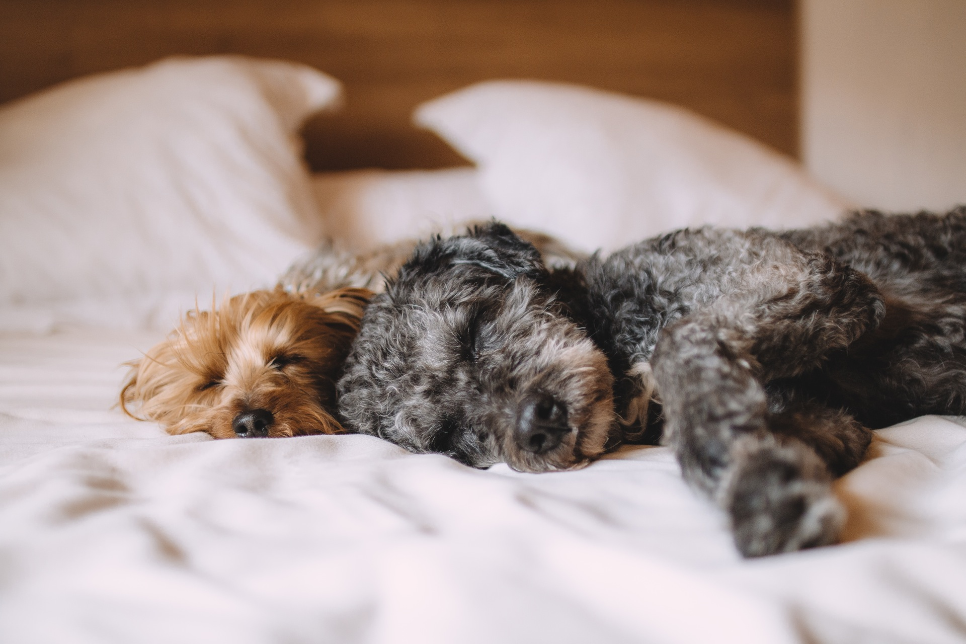 dog-in-bed-pexels-photo-57627