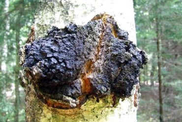 chaga on tree