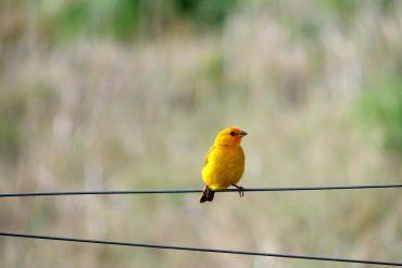 canary MCS
