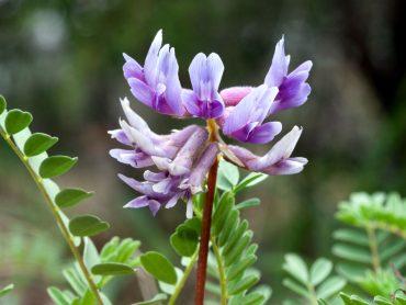 Astragalus-Membranaceus