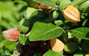 Ashwagandha Bio Poudre | Avis - Santé par les plantes - Exclusif